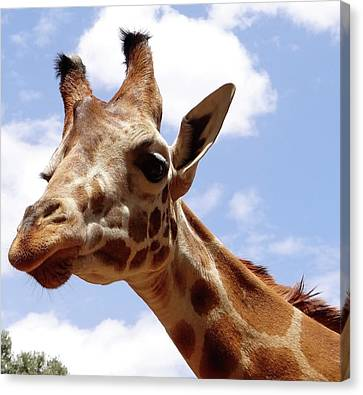 Giraffe Getting Personal 6 Canvas Print