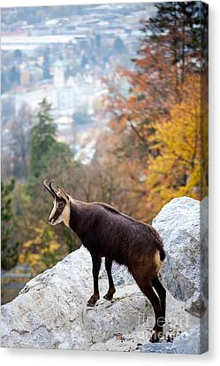 Goat In The Austrian Alps Canvas Print by Andre Goncalves