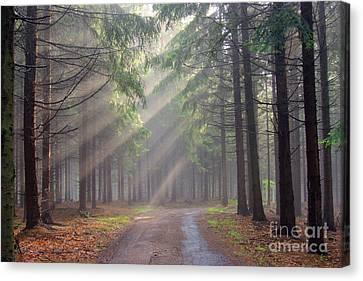 God Beams - Coniferous Forest In Fog Canvas Print by Michal Boubin