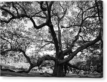 Granby Oak Canvas Print
