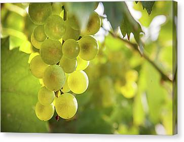 Ripe Grapes Canvas Print - Grapes Filled With Sun by Jenny Rainbow