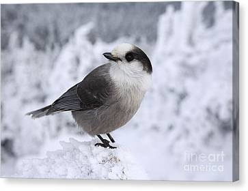 Gray Jay - White Mountains New Hampshire Usa Canvas Print by Erin Paul Donovan