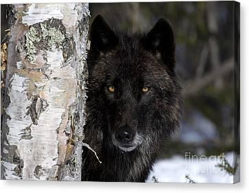 Gray Wolf Canvas Print by Jean-Louis Klein & Marie-Luce Hubert