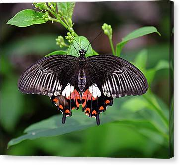 Great Mormon Butterfly Canvas Print by Ronda Ryan