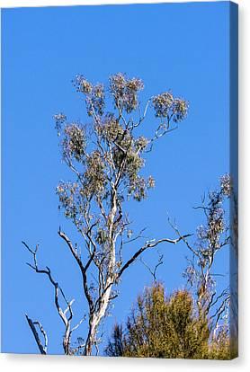 Gum Tree - Canberra - Australia Canvas Print by Steven Ralser