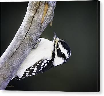 Woodpecker Canvas Print - Hairy Woodpecker by LeeAnn McLaneGoetz McLaneGoetzStudioLLCcom