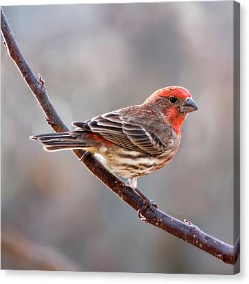 Finch Canvas Print - House Finch by Betty LaRue