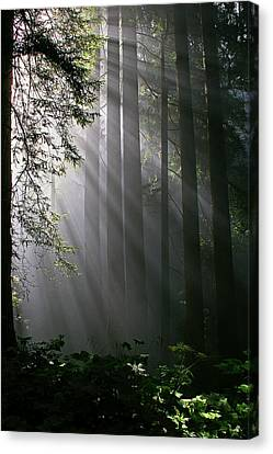 In The California Redwood Forest. Canvas Print by Ulrich Burkhalter