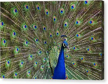 Indian Peafowl Male With Tail Fanned Canvas Print by Tim Fitzharris
