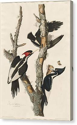 Wings Canvas Print - Ivory-billed Woodpecker by Dreyer Wildlife Print Collections