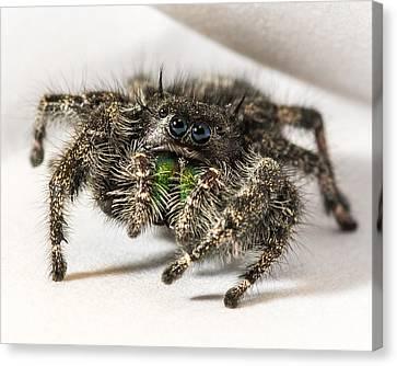 Jumping Spider Macro Canvas Print by Noah Katz