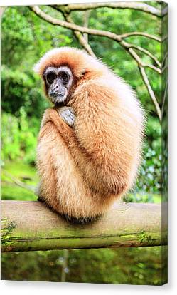 Canvas Print featuring the photograph Lar Gibbon by Alexey Stiop