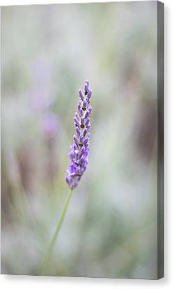 Labelled Canvas Print - Lavender by Martin Newman