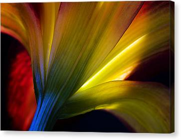 Lily Lumina Canvas Print by Shawn Young