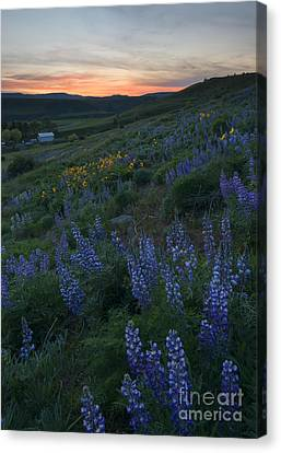 Lupine Sunset Canvas Print by Mike Dawson