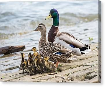 Mallard Family  Canvas Print by Jan M Holden