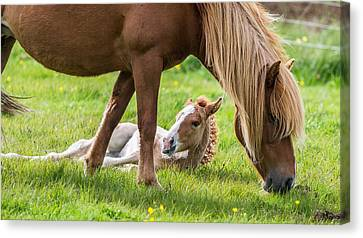 Mare And New Born Foal, Iceland Canvas Print by Panoramic Images