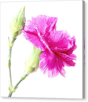 Pink Carnation Canvas Print - Memories Of You by Krissy Katsimbras