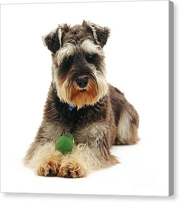 Miniature Schnauzer Canvas Print by Jane Burton