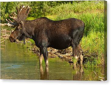 Bull Moose Canvas Print - Moose by Sebastian Musial