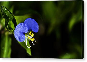 Morning Glory Canvas Print by Sarita Rampersad