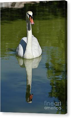 Swans Canvas Print - Mute Swan by George Atsametakis