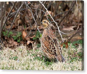 Northern Bobwhite Quail Canvas Print