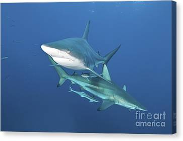 Oceanic Blacktip Sharks With Remora Canvas Print by Mathieu Meur