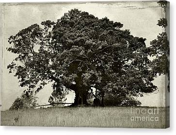 Old Fig Tree Canvas Print by Kaye Menner