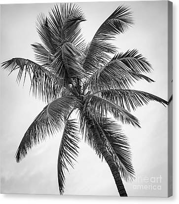 Palm Tree Canvas Print by Elena Elisseeva