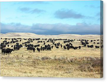 A Herd Gathers Canvas Print