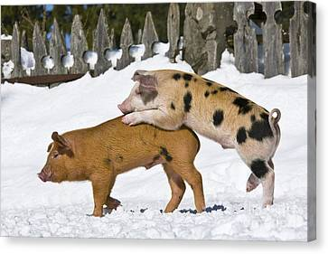 Litter Mates Canvas Print - Piglets Playing In Snow by Jean-Louis Klein & Marie-Luce Hubert