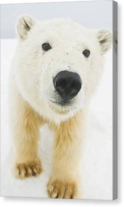 Polar Bear  Ursus Maritimus , Curious Canvas Print