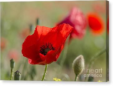 Poppies In Field In Spring Canvas Print by Perry Van Munster