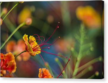 Pride Of Barbados  Caesalpinia Canvas Print by F. M. Kearney