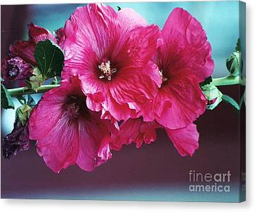 Canvas Print featuring the photograph P's Hollyhocks by Juls Adams