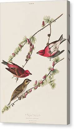 Purple Finch Canvas Print by John James Audubon