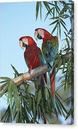 Red And Green Macaw Ara Chloroptera Canvas Print by Konrad Wothe
