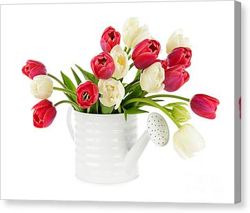 Watering Can Canvas Print - Red And White Tulips by Elena Elisseeva