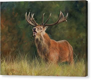 Red Deer Canvas Print - Red Deer Stag by David Stribbling