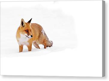 Red Fox In A White World Canvas Print