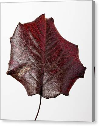Red Leaf 4 Canvas Print by Robert Ullmann