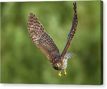 Canvas Print featuring the photograph Red-tailed Hawk by Peter Lakomy