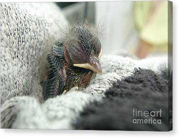 Baby Bird Canvas Print - Rescued by Jeff Swan
