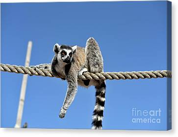 Ropes Canvas Print - Ring Tailed Lemur by George Atsametakis