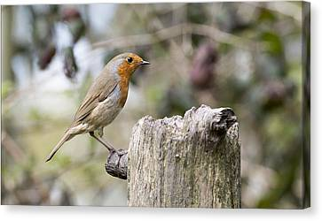 Canvas Print featuring the photograph Robin by Steven Poulton