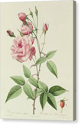 Horticultural Canvas Print - Rosa Indica Vulgaris by Pierre Joseph Redoute
