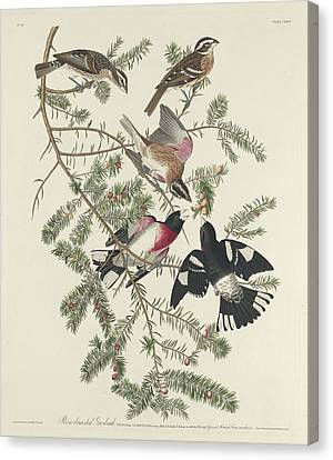 Rose-breasted Grosbeak Canvas Print