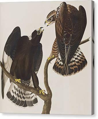Rough-legged Falcon Canvas Print by John James Audubon