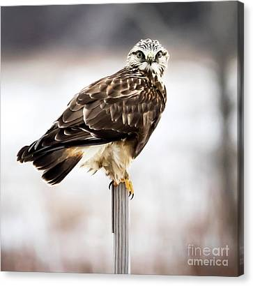 Canvas Print featuring the photograph Rough-legged Hawk by Ricky L Jones